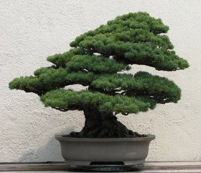 Typical bonsai tree