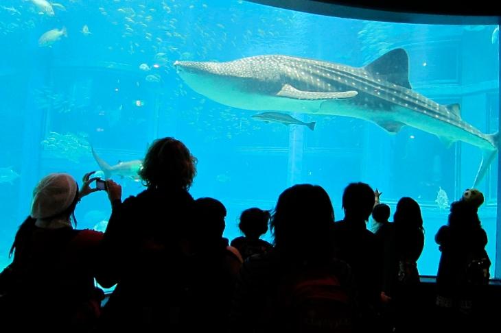 Whale shark watching at the Osaka Aquarium Kaiyukan