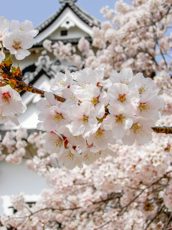 Sakura by Hikone Castle (image by Greg Werner)