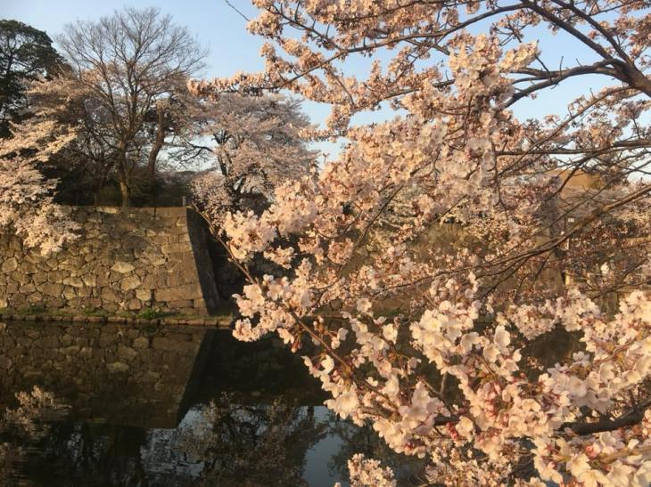 Hikone Castle grounds cherry blossoms.jpg