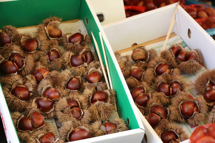 Japanese_Chestnut